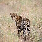 Leopard by tracyleephoto