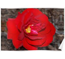 Fiery red rose with molten center Poster