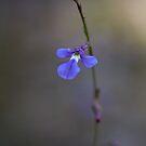 Native Lobelia by Dianne English