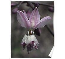 Arthropodium milleforum (Pale Vanilla-lily) Poster