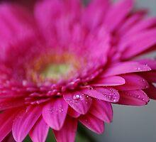 Vivid Pink Gerbera by SandycPhotos