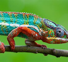 Chameleon beauty by Angi Wallace