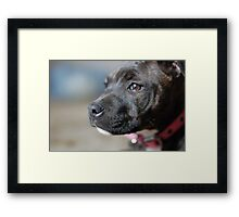 English Staffy Pup Framed Print