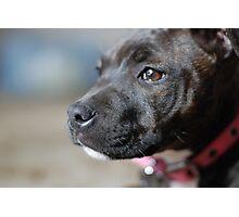 English Staffy Pup Photographic Print