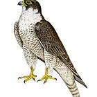 Peregrine Falcon (Falco peregrinus) by Tamara Clark