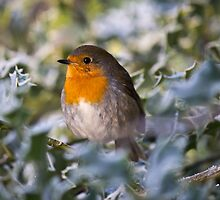 Robin In Holly by David Pringle