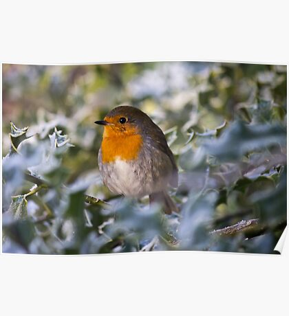 Robin In Holly Poster