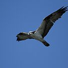 Hunting Osprey by DARRIN ALDRIDGE