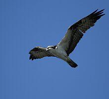 Hunting Osprey by DARRIN ALDRIDGE