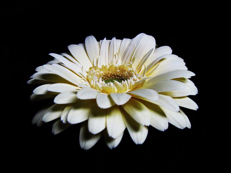 White Gerbera by Mistyarts