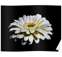 White Gerbera Poster