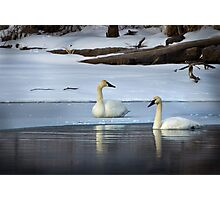 Swans in January thaw Photographic Print