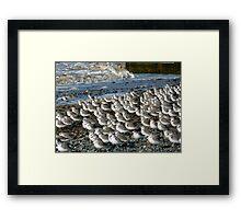 Sanderlings at Rossal Point  Framed Print