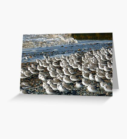 Sanderlings at Rossal Point  Greeting Card