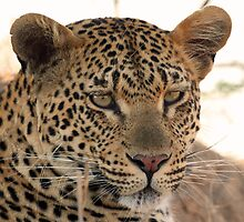 An adolescent leopard(come pat me if you can!) by jozi1