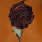 Dead rose by Sarah Horsman