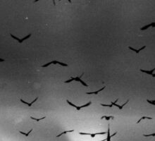 A murmuration of starlings Sticker