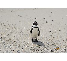 The African Penguin Photographic Print