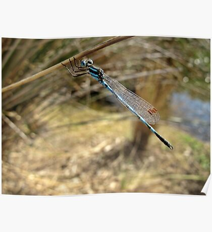 Blue Ringtail Poster