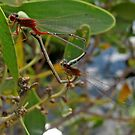 Red and Blue Damsels mating by macinverts