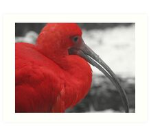 red Ibis Art Print