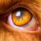 Orange & White Italian Spinone Dog eye by heidiannemorris