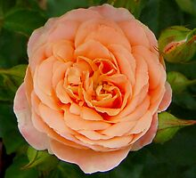 The Peach Rose by lindabeth