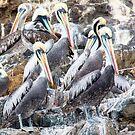Pucusana Pelicans by Iris MacKenzie