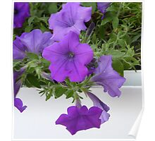 Purple Petunias On White Poster