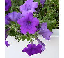 Purple Petunias On White Photographic Print