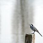 Pied wagtail with matching background by Peter Dickinson