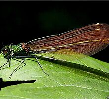 Damsel fly by Rivendell7