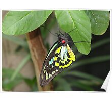 Cairns Birdwing Butterfly - Trying to hold on Poster