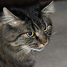 Maine Coon by dgscotland