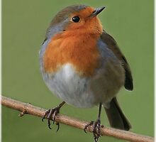 Robin redbreast by Rivendell7