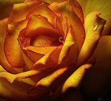 The peach rose by EbyArts