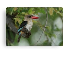 Brown-hooded Kingfisher Canvas Print