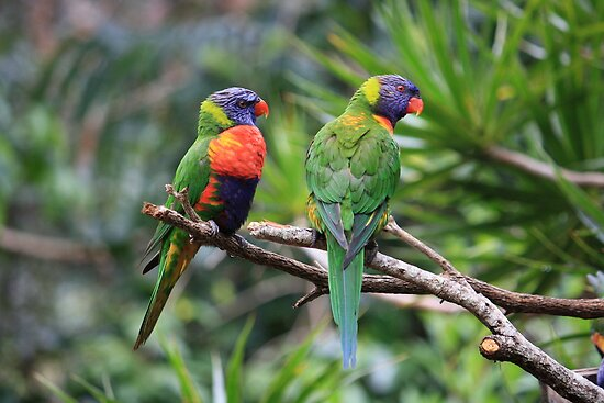 Birds: Mates In The Rainforest by aussiebushstick