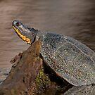 Blanding's turtle by Daniel  Parent