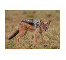 Caught In The Act / Black-Backed Jackal Art Print