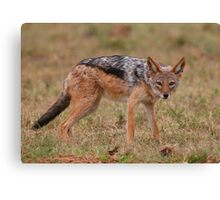 Caught In The Act / Black-Backed Jackal Canvas Print