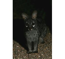 Small-spotted Genet Photographic Print