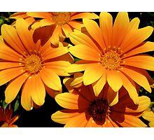 Orange and yellow daisies Photographic Print