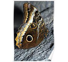 The Owl Butterfly,Caligo sp. Poster