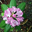 Delicate Rhododendron petals by Jane Neill-Hancock
