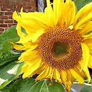 SUNFLOWER!!! by Jane Neill-Hancock