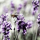 Bee in Lavender by yolanda