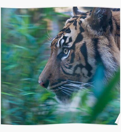 Pacing Tiger Poster