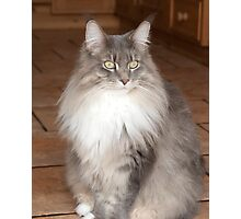 Maine Coon Cat Photographic Print