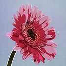 Pink Gerbera Flower by David Pringle